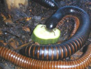 Behavior, Diet, and Habits of millipedes