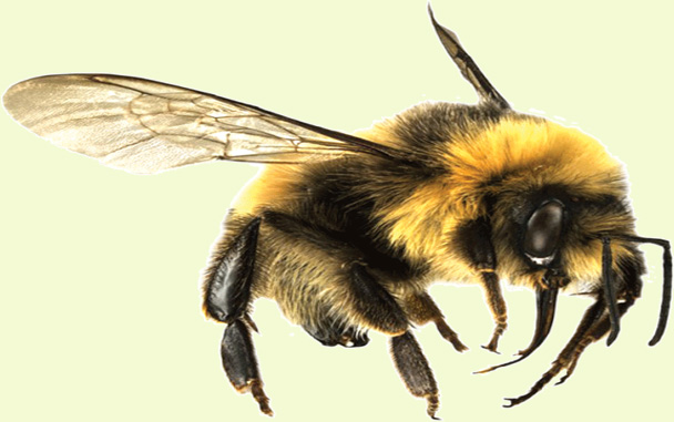 How to Get Rid of Bumblebees Easily Best Methods - Bumblebees Facts
