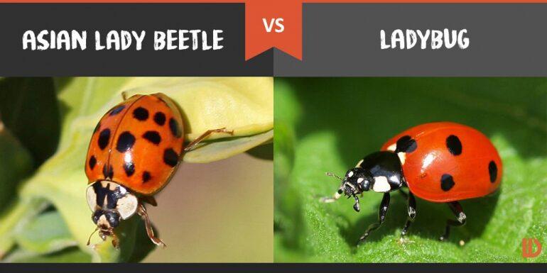Asian Beetles VS Ladybugs