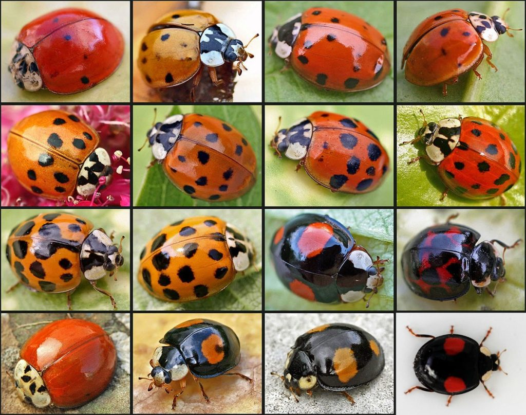 how Asian lady beetles look like