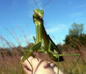 Praying Mantis as pets