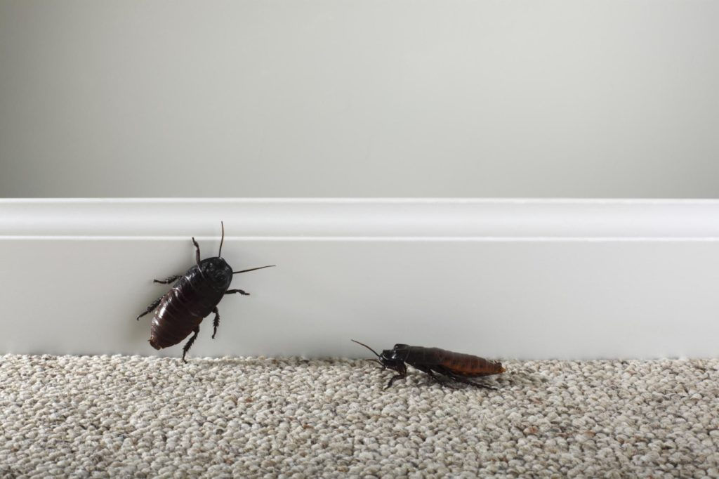 Palmetto Bug vs Cockroach