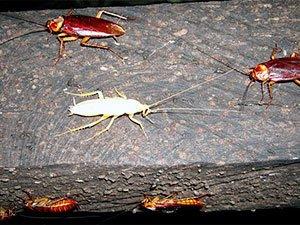 White Roaches