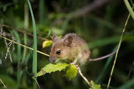 House Mice
