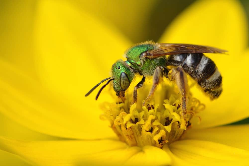 How to get rid of Sweat Bees?