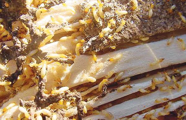 termite bond
