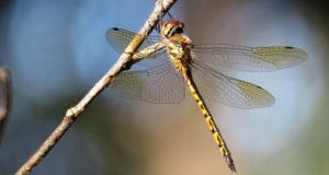 Do Dragonflies Bite?