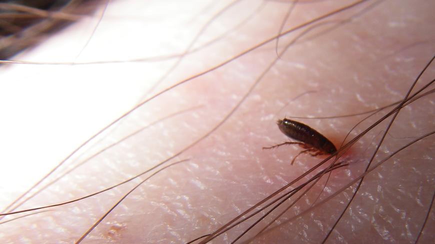 What do adult fleas look like?